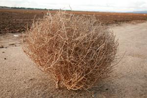 bigstock-a-tumble-weed-aka-Salsola--S-25908005