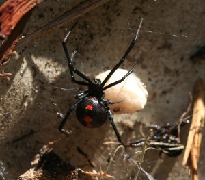bigstock-black-widow-8298909